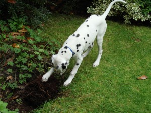 CeeCee digging - one of his favourite activities